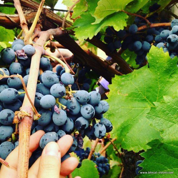 grape antica masseria venditti